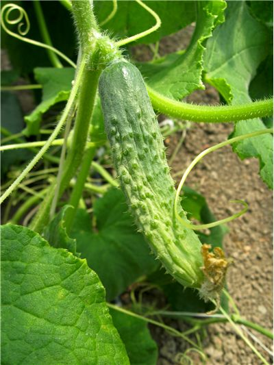 Cucumber Grow on Vines